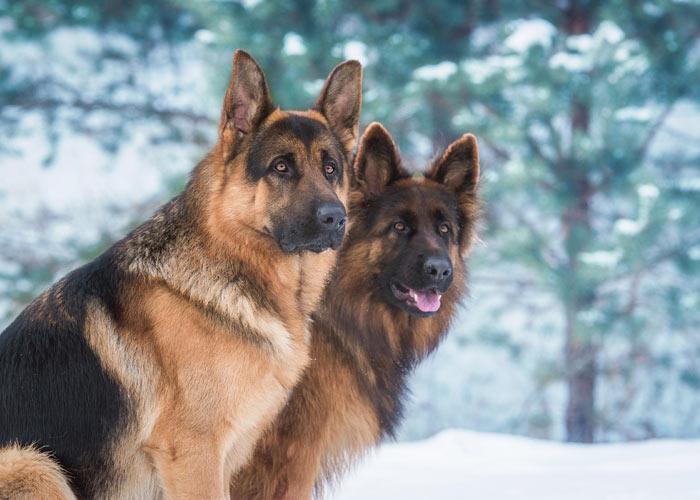 Twee aankijkende Duitse herdershonden