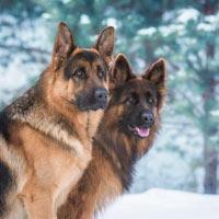 Meer over het uiterlijk van de Duitse herdershond
