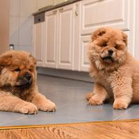 Twee chowchow puppy's
