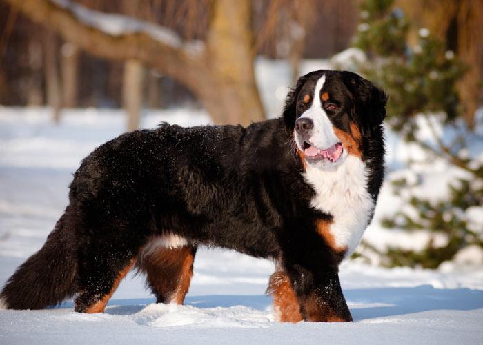 Het uiterlijk van een Berner sennenhond
