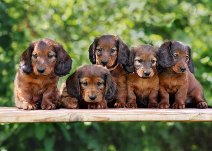 Het uiterlijk van teckel puppy's