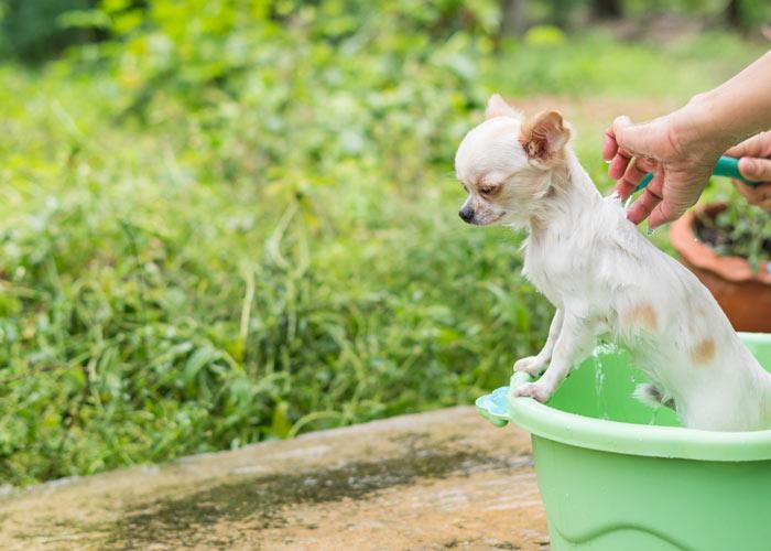 Alles over de verzorging van de chihuahua