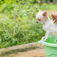 Hoe verzorg je een chihuahua puppy?