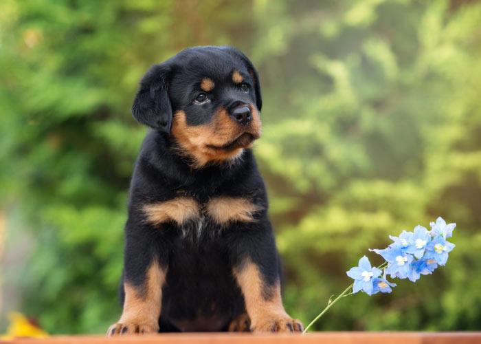 Hoe verzorg je een rottweiler puppy