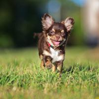 Hoe voed je een chihuahua puppy op?