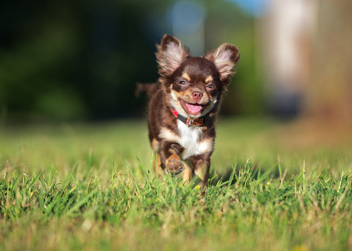 hoe voed je chihuahua puppies op?