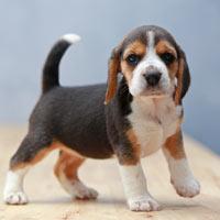 het karakter van beagles