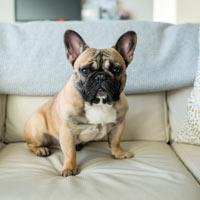 Officiële Nederlandse rasvereniging voor de Franse bulldog
