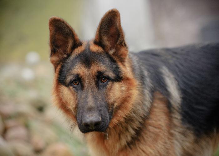 hondenras duitse herdershond