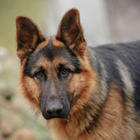 rasverenigingen en officiële fokkers voor Duitse herdershond puppies