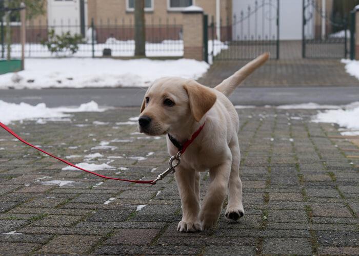 Opvoeding labrador