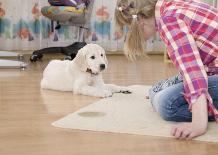 tips voor het opvoeden van een golden retriever puppy