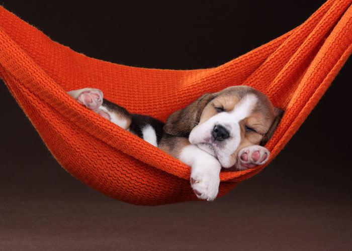 Het uiterlijk van een beagle