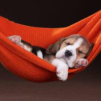 het uiterlijk van beagles