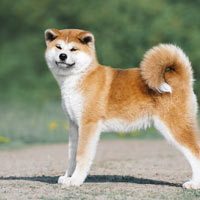 Aanschaf en kosten van een akita puppy