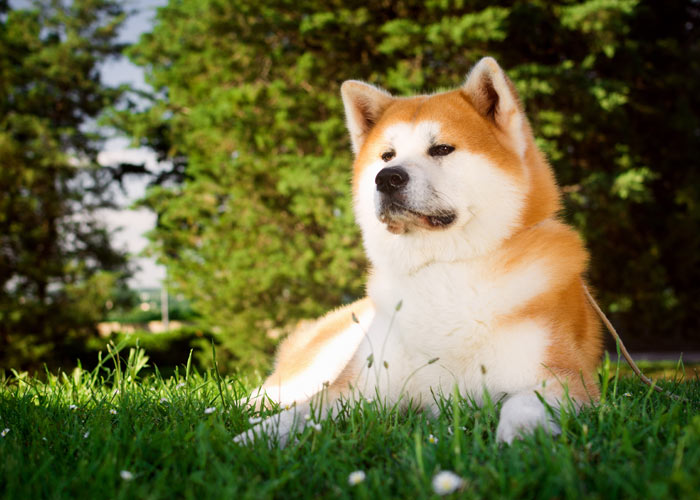 De Akita hond - Een introductie