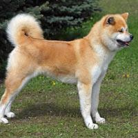 rasvereniging voor de akita hond