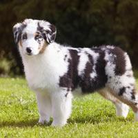 aanschaf en kosten van een Australian shepherd