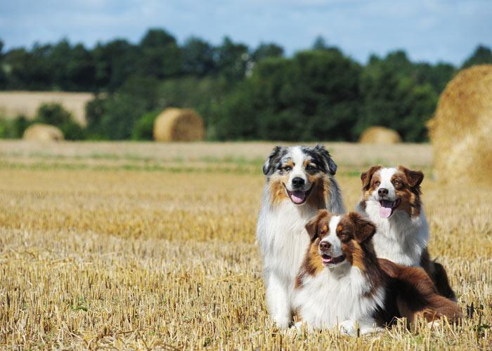 Algemene informatie over de Australian shepherd