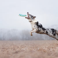 Australian shepherd springt naar een frisbee toe