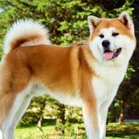 Algemene informatie over de akita hond