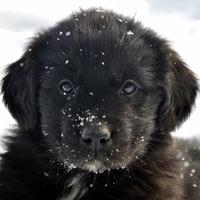 De aanschaf en kosten voor een newfoundlander puppy