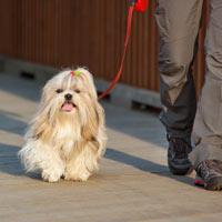 Het opvoeden van een Shih tzu puppy