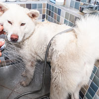 Een akita hond die wordt gewassen