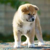 Het opvoeden van een akita puppy