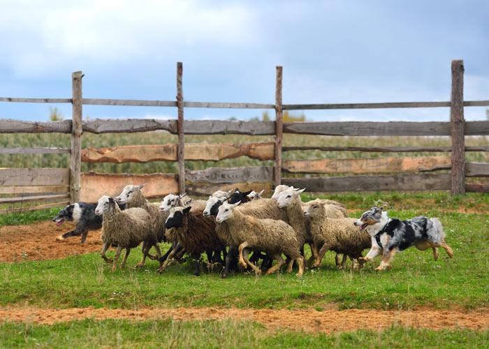 Het karakter van een Australian shepherd