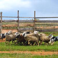 Actief karakter van een Australian shepherd