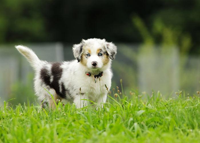 Het opvoeden van een Australian shepherd puppy