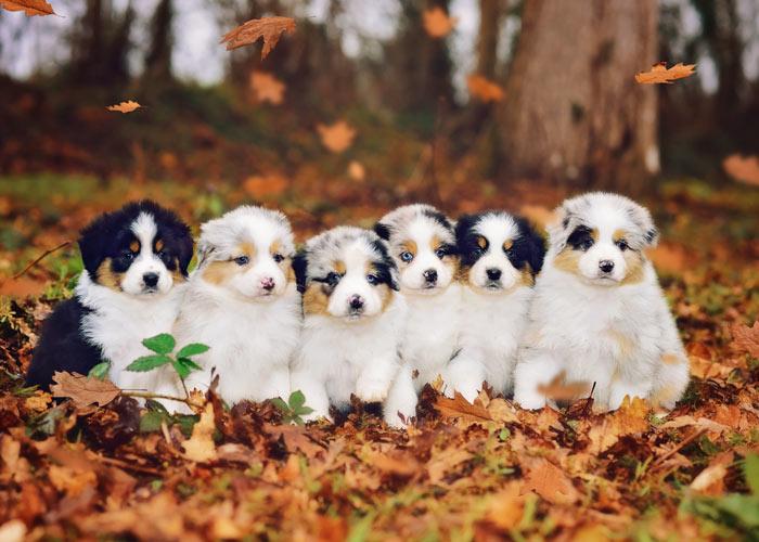 Het uiterlijk van een aantal Australian shepherd puppy's