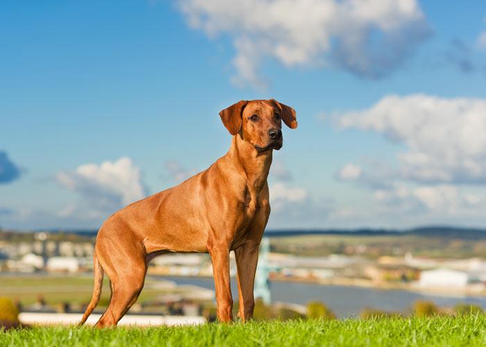 rhodesian ridgeback hondenras