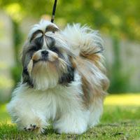 Wat kost een Shih tzu puppy