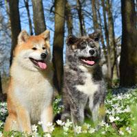 Twee verschillend uitziende Akita honden