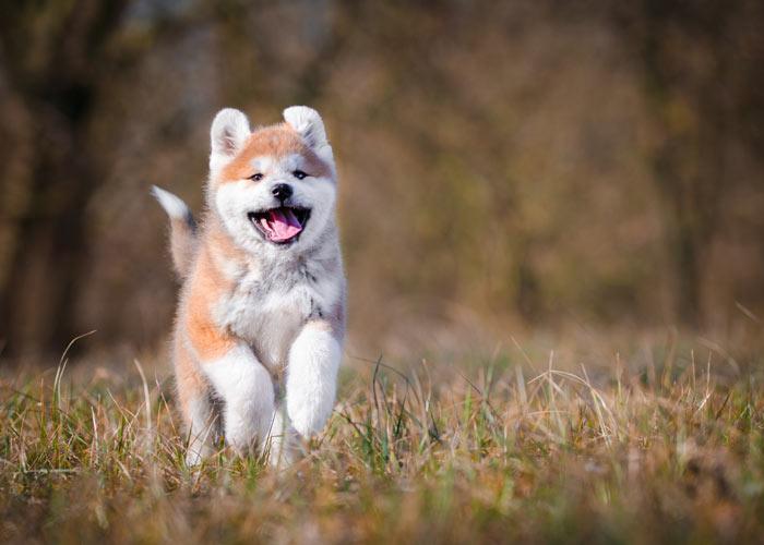 Het actieve karakter van de akita hond