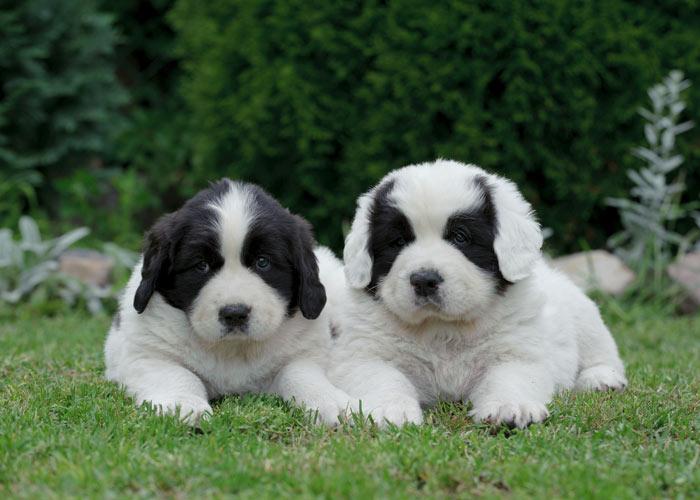 het opvoeden van newfoundlander puppy's