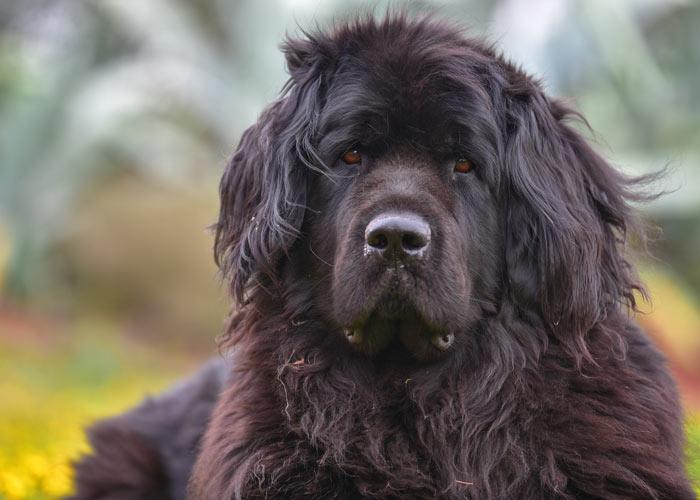 informatie over newfoundlander honden en puppys
