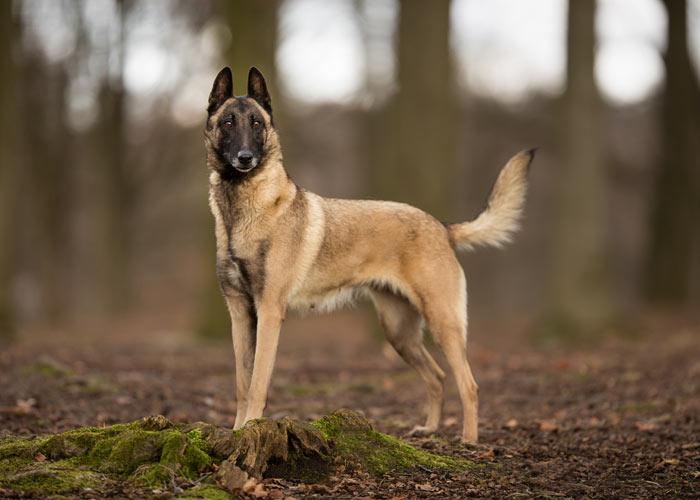 mechelse herder hondenras