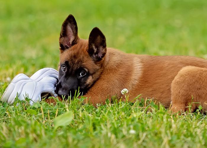 Een Mechelse herder puppy die op een schoen kauwt