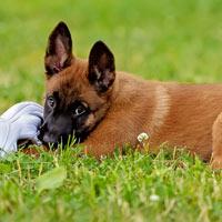 Het opvoeden van een Mechelse herder puppy