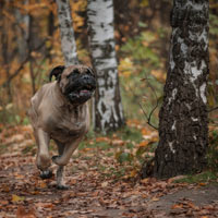 Een rennende bullmastiff