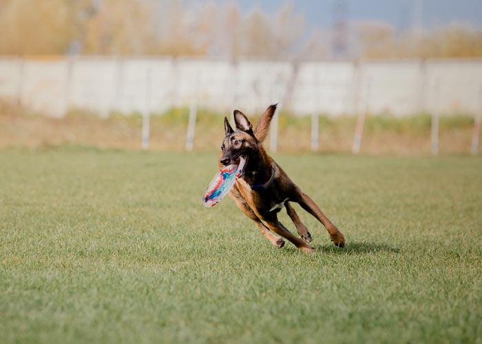 Speels karakter van de Mechelse herder die met een frisbee speelt
