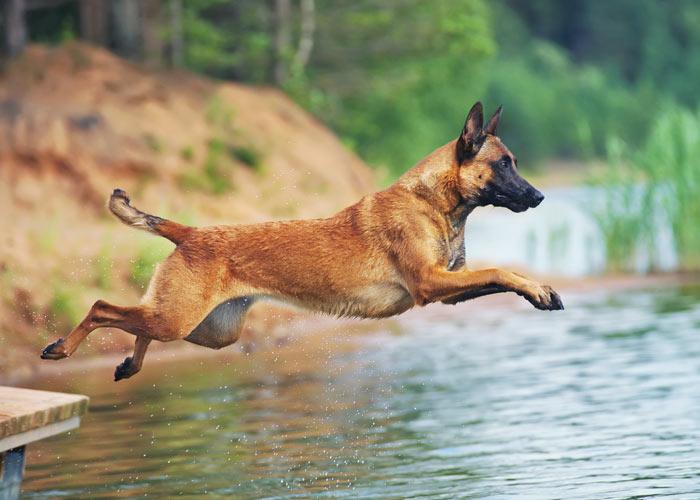 Mechelse herder springt in het water