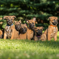 Zeven Mechelse herder puppy's