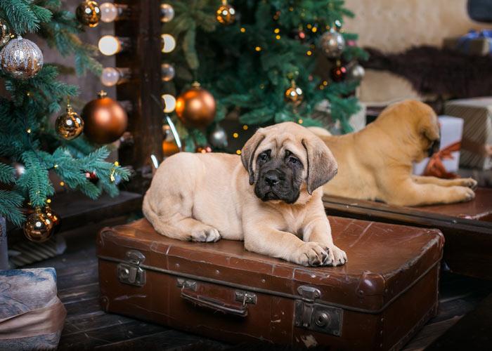 aanschaf en kosten voor de bullmastiff hond