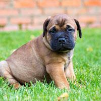 rasvereniging voor de bullmastiff hond