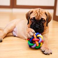 het karakter van een bullmastiff puppy