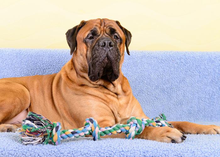 bullmastiff hondenras